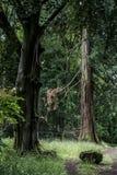 Parque nacional alemán que camina a la muchacha en rastro al lado de un árbol gigantesco viejo enorme Imagen de archivo libre de regalías
