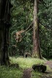 Parque nacional alemán que camina a la muchacha en rastro al lado de un árbol gigantesco viejo enorme Fotografía de archivo