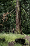 Parque nacional alemán que camina a la muchacha en rastro al lado de un árbol gigantesco viejo enorme Foto de archivo