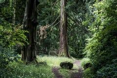Parque nacional alemán que camina a la muchacha en rastro al lado de un árbol gigantesco viejo enorme Fotos de archivo libres de regalías