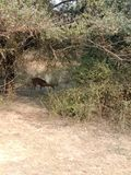 Parque nacional Bharatpur Rajasthán la India de Keloadev foto de archivo