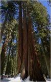 Parque nacional California, los E.E.U.U. de secoya Foto de archivo libre de regalías