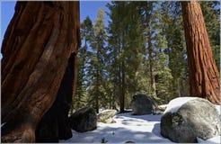 Parque nacional California, los E.E.U.U. de secoya Fotografía de archivo
