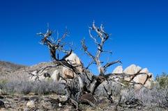 Parque nacional de árvore de Joshua Foto de Stock