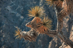 Parque nacional de árvore de Joshua Imagem de Stock