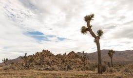 Parque nacional de árvore de Joshua Fotografia de Stock