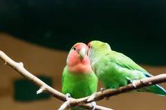 Parque nacional de Amazónia do papagaio amarelo-naped de amazon no território da municipalidade de Itaituba no estado de Para per Fotos de Stock