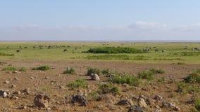 Parque nacional de Amboseli, al lado de la TA kilimanjaro Foto de archivo libre de regalías