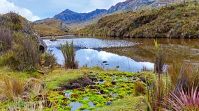 Parque nacional de Cajas, lago Toreadora, planta de agua y musgo imagen de archivo