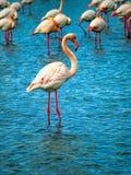 Parque nacional de Camargue dos flamingos cor-de-rosa, França Fotos de Stock