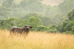 Parque nacional de Conkouati-Douli del búfalo del bosque, Congo Fotografía de archivo libre de regalías