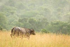Parque nacional de Conkouati- Douli del búfalo del bosque, Congo Imagen de archivo libre de regalías