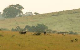 Parque nacional de Conkouati-Douli del búfalo del bosque, Congo Imagenes de archivo