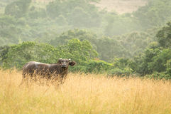 Parque nacional de Conkouati-Douli do búfalo da floresta, Congo fotografia de stock royalty free