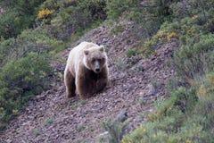 Parque nacional de Denali da porca do urso, Alaska imagens de stock royalty free
