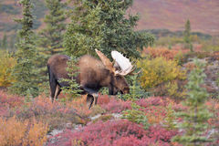 Parque nacional de Denali dos alces de Bull (alces do alces), Alaska Imagem de Stock