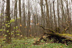 Parque nacional de Hainich, Alemanha Fotos de Stock