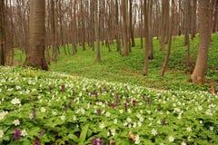 Parque nacional de Hainich, haya Forest Protection, Alemania Foto de archivo