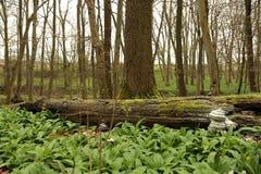 Parque nacional de Hainich, haya Forest Protection, Alemania Fotos de archivo libres de regalías