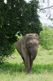 Parque nacional de InUdawalawe do elefante selvagem, Sri Lanka Imagens de Stock