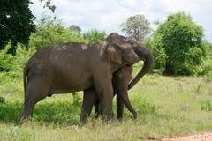 Parque nacional de InUdawalawe do elefante selvagem, Sri Lanka Foto de Stock