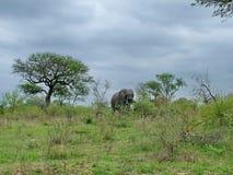 Parque nacional de Kruger, África do Sul, o 11 de novembro de 2011: Elefante em pastagem do savana Foto de Stock