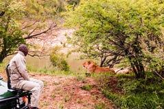Parque nacional de Kruger, África do Sul - 2011: Um guia do safari que olha um leão foto de stock royalty free