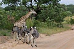 Parque nacional de Kruger das zebras & dos Giraffes, África fotos de stock royalty free