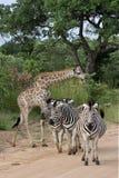 Parque nacional de Kruger de las cebras y de las jirafas, África Foto de archivo libre de regalías
