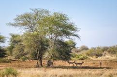 Parque nacional de Kruger de los impalas, Suráfrica Imagen de archivo libre de regalías