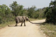 Parque nacional de Kruger del elefante africano Imagen de archivo libre de regalías