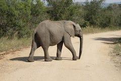 Parque nacional de Kruger del elefante africano Fotografía de archivo libre de regalías
