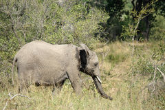 Parque nacional de Kruger del elefante africano Imagenes de archivo