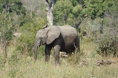 Parque nacional de Kruger del elefante africano Fotos de archivo libres de regalías