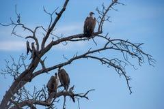 Parque nacional de Kruger, Mpumalanga, África do Sul Imagem de Stock