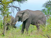 Parque nacional de Kruger, Suráfrica, el 11 de noviembre de 2011: Elefantes en prados de la sabana Imágenes de archivo libres de regalías