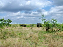 Parque nacional de Kruger, Suráfrica, el 11 de noviembre de 2011: Elefantes en prados de la sabana Fotos de archivo libres de regalías