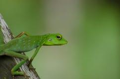 Parque nacional de Kutai del lagarto Imágenes de archivo libres de regalías
