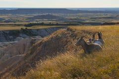 Parque nacional de los Badlands de las ovejas de Bighorn en descanso fotografía de archivo