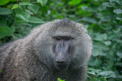 Parque nacional de Manyara, Tanzânia - babuíno Foto de Stock Royalty Free