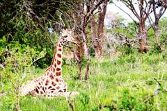 Parque nacional de Murchison Falls, Uganda imagem de stock