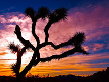 Parque nacional de árvore de Joshua Fotografia de Stock Royalty Free