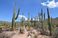 Parque nacional de Saguaro, o Arizona, EUA Imagens de Stock