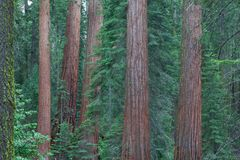Parque nacional de secoya, los E.E.U.U. Imagen de archivo libre de regalías