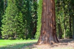 Parque nacional de secoya, los E.E.U.U. Foto de archivo libre de regalías