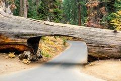 Parque nacional de sequoia do início de uma sessão do túnel fotografia de stock