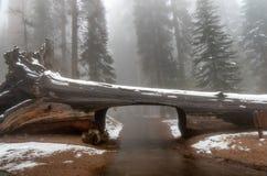 Parque nacional de sequoia do início de uma sessão do túnel Giganteum do Sequoiadendron das árvores da sequoia gigante, Califórni foto de stock royalty free