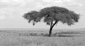 Parque nacional de Serengeti Foto de archivo libre de regalías