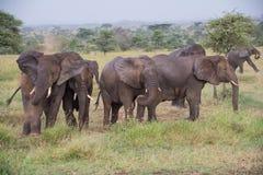 Parque nacional de Serengeti, Tanzânia - elefantes que têm um banho da poeira Fotografia de Stock
