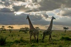 Parque nacional de Serengeti, Tanzânia - girafas Imagem de Stock Royalty Free